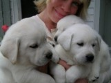 Good looking beautiful Labrador Retriever Puppies