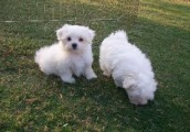Amazing Maltese Puppies For Sale