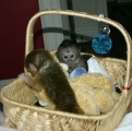 Adorable Capuchin Monkeys For Sale