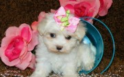 Adorable male and female teacup Maltese for sale