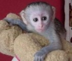 Male and female Capuchin Monkeys for sale