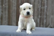 Golden Retriever Puppies for sale..