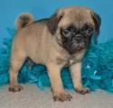 Playful Male Pug puppies for sale .