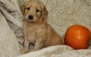 Sensitive Golden retriever pups for sale