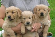 Cute Golden Retriever Available For Sale