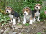 Tri Coloured Beagles Puppies Ready Now For Loving Homes