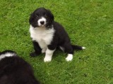 Adorable Border Collie pups for loving homes