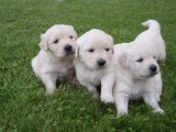 Male and Female Golden Retriever Puppies Available For