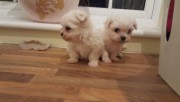 Good looking Plaful Maltese puppies for sale