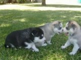Cutie Blue eyes Siberian Husky Puppies for sale
