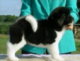 Cute Akita Puppies Available Now For Sale..