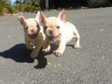 male and female French Bulldog Puppy Is Registered