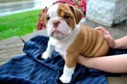 Healthy Charming English Bulldog Pups Ready Now!!!