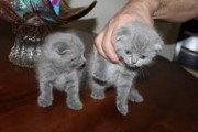 Adorable male and female Scottish Fold kittens for sale