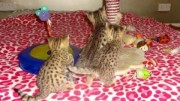 Top Quality Serval Kittens for sale
