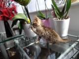 Pedigree Bengal Male Kitten