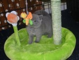 Stunning British short hair kittens for a good home