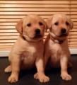 Labrador Retriever Pups ready now