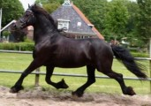Attractive And Solid Black Friesian Gelding
