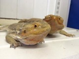 Two Bearded Dragons Needs New Home