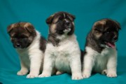Beautiful American Akitas Puppies 3 Female 4 Male For Sale
