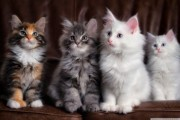 Beautiful pure bred Maine Coon Kittens ready For Sale