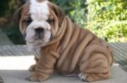 sunshine male and female english bulldog puppies for sale