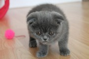 Blue Scottish Fold Kittens For Sale