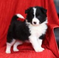 Border Collie puppies Ready For Rehoming