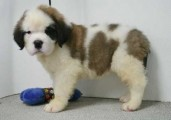 Well cared and healthy St. Bernard