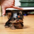 Lovely Teacup Yorkshire terrier puppies