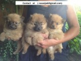 Pomeranian Puppies For a Loving Home