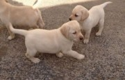 Quality labrador Puppies - Excellent Pedigree for sale