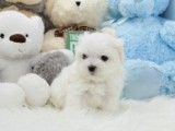 Pure Breed Miniature Maltese Pups Available for sale