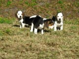 Beautiful Beagle Puppies Available For Sale