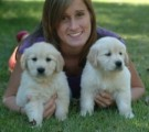 Males and females Golden Retriever puppies for sale