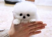 Teacup micro toy Pomeranian puppies for sale