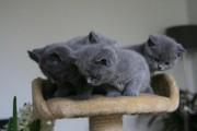 2 British Short Hair Kittens Available For Rehoming