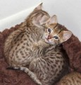 2 Savannah male and female kittens for Rehoming