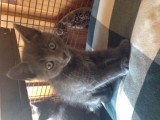 2 Hand Raised Russian Blue Kitten for Caring Home