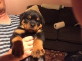 Chunky Rottweiler Pups For Sale