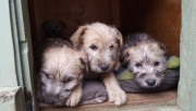 Quality Irish Terrier Pups