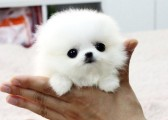 Super cute Pomeranian puppies for sale