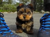 Kc Reg Minature Yorkshire Terrier Puppies