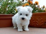 Kennel Club Registered Maltese Puppies For Sale