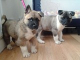 Gorgeous Akita Puppies For Sale