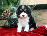 Gorgeous Cavapoo Puppies For Sale