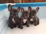 Stunning Litter Of 3 Kc Registered French Bulldog Puppies!