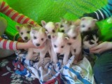 Purebred Licensed Siberian Husky Puppies For New Caring Homes