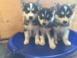 Vet Checked Blue Eye Siberian Husky Puppies READY!!